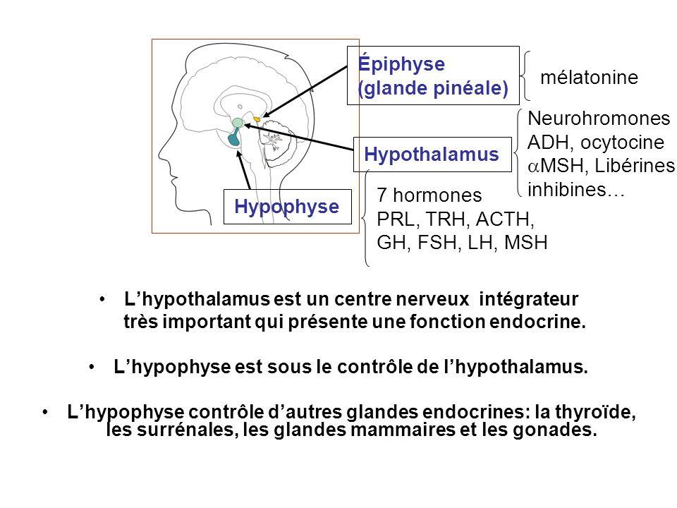 Épiphyse (glande pinéale)