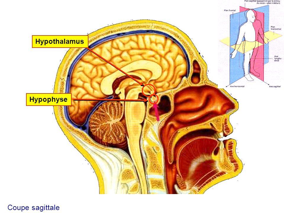 Hypothalamus Hypophyse Coupe sagittale