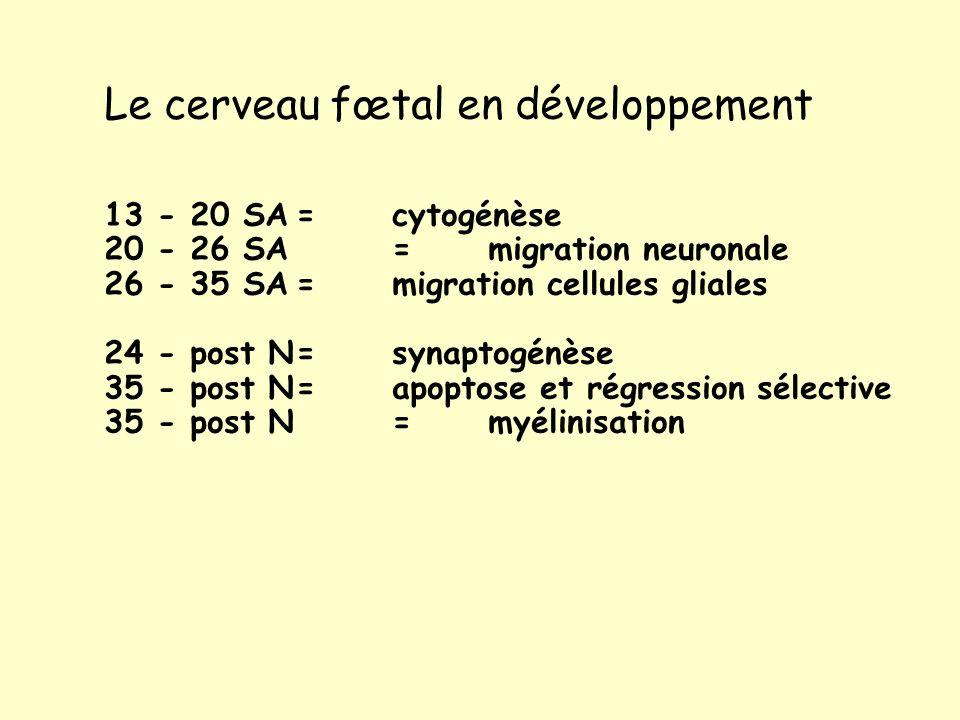 Le cerveau fœtal en développement