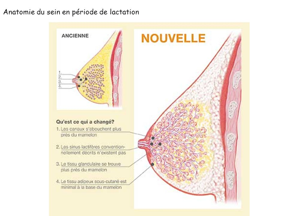 Anatomie du sein en période de lactation