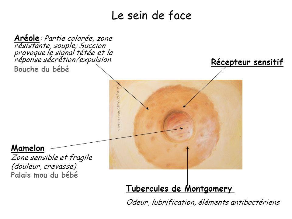 Le sein de face Bouche du bébé Récepteur sensitif Mamelon