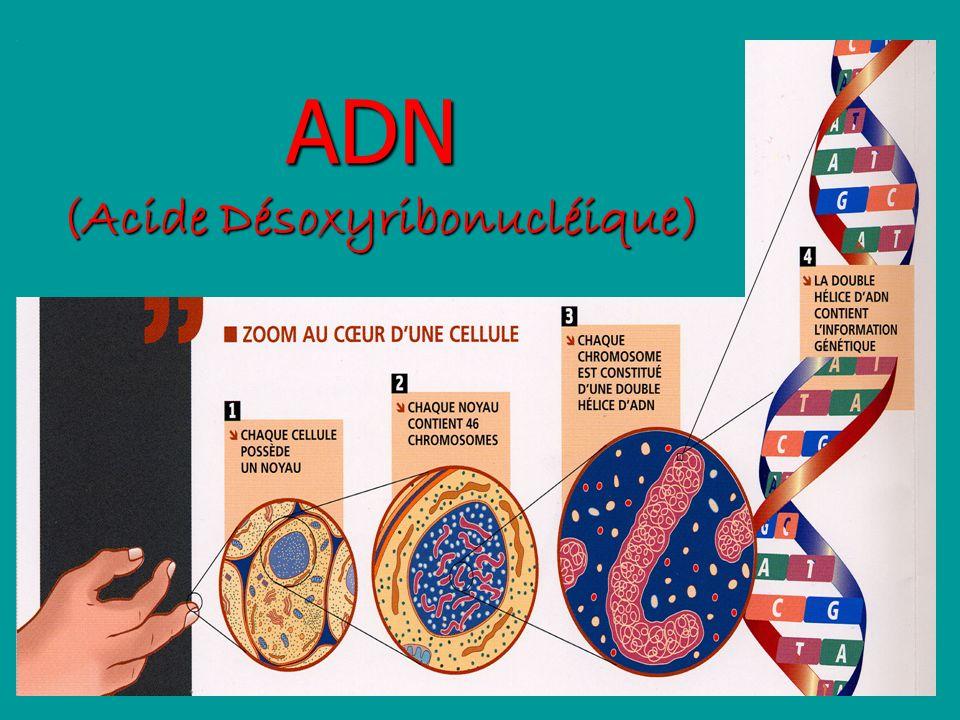 (Acide Désoxyribonucléique)