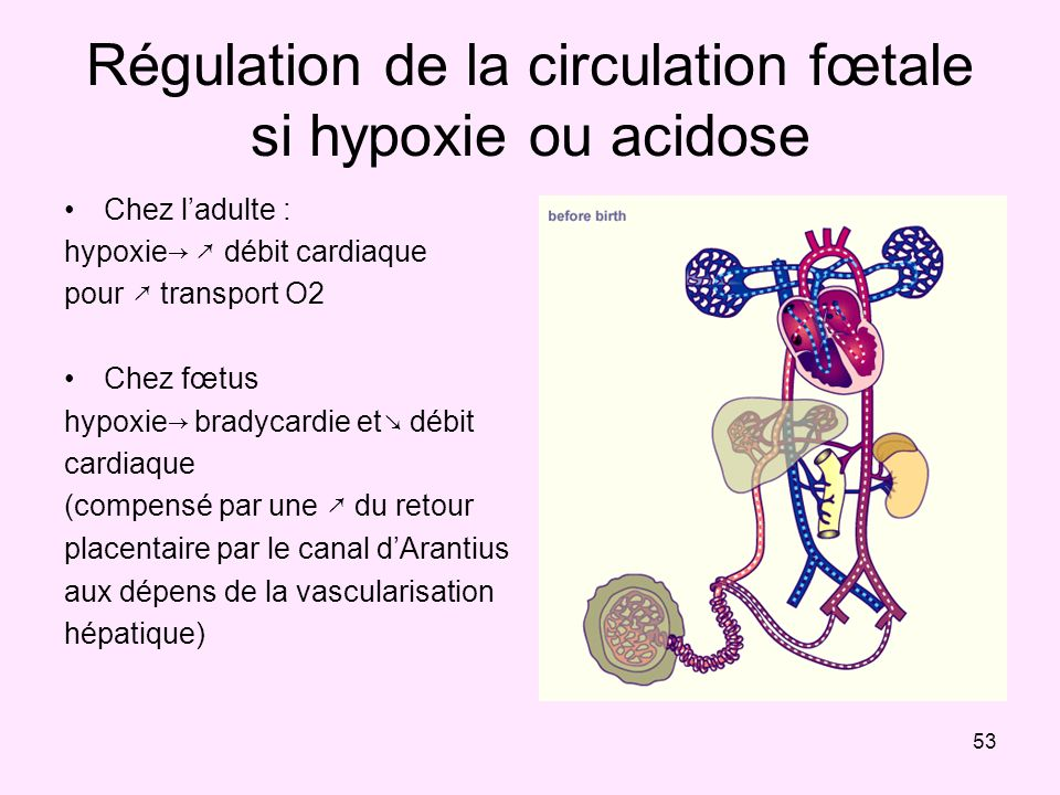 Régulation de la circulation fœtale si hypoxie ou acidose