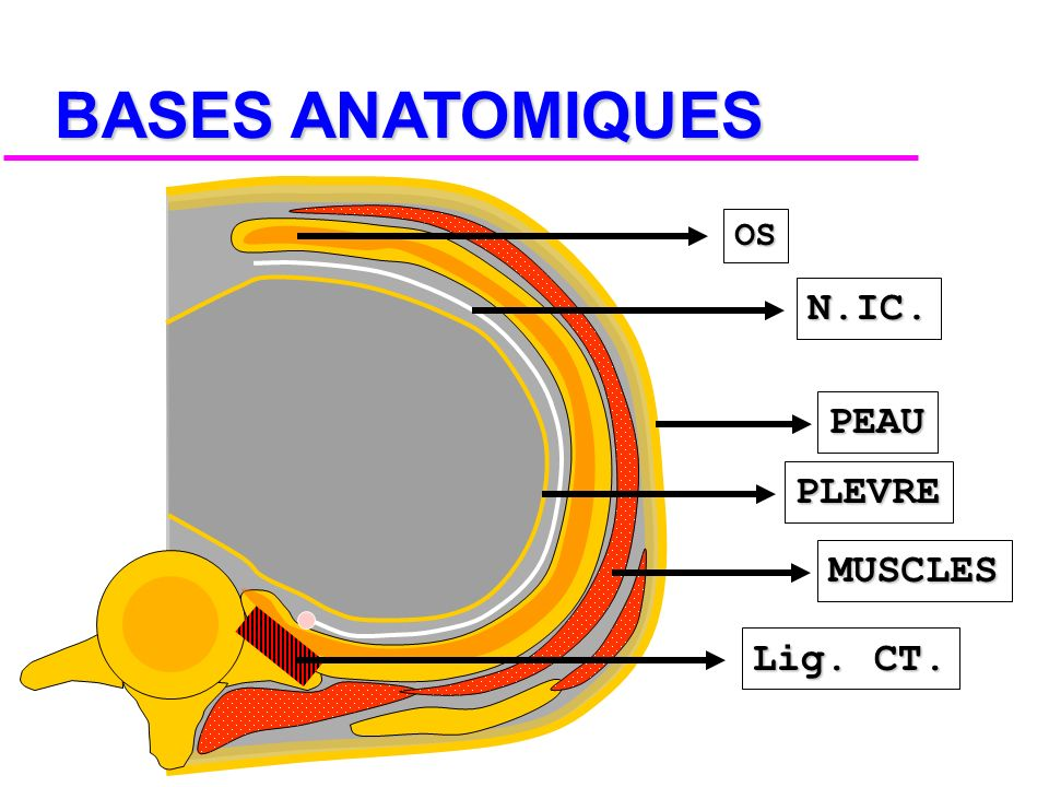 BASES ANATOMIQUES OS N.IC. PEAU PLEVRE MUSCLES Lig. CT.