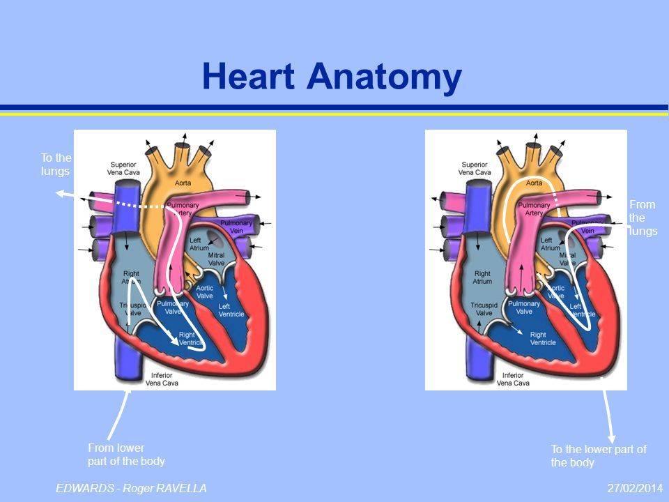 Heart Anatomy To the lungs From the lungs From lower part of the body