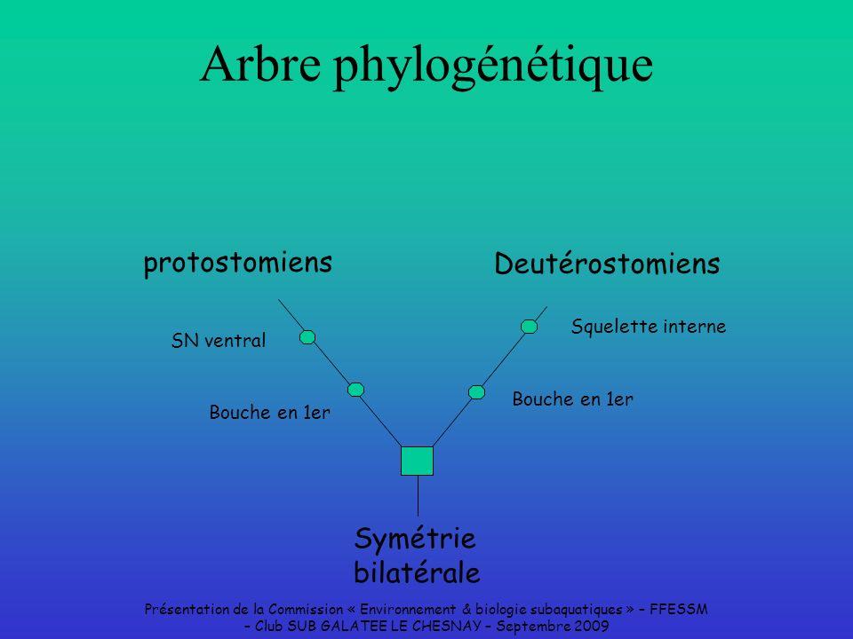 Arbre phylogénétique protostomiens Deutérostomiens Symétrie bilatérale