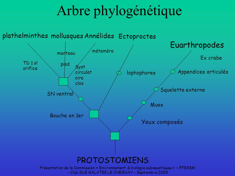 Arbre phylogénétique Euarthropodes PROTOSTOMIENS plathelminthes