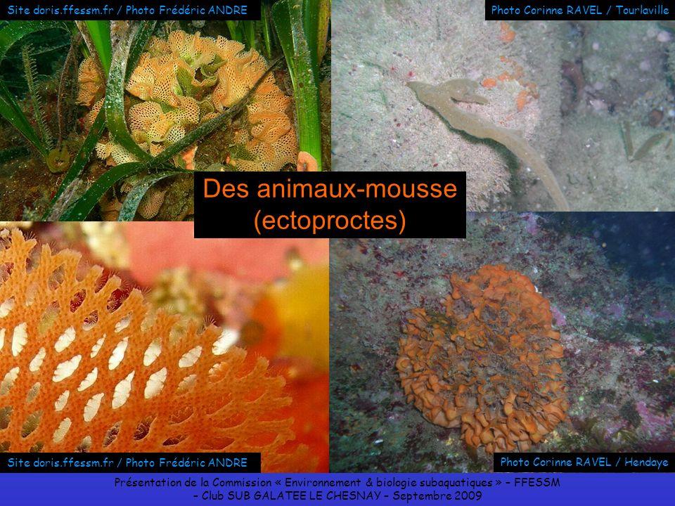 Des animaux-mousse (ectoproctes)