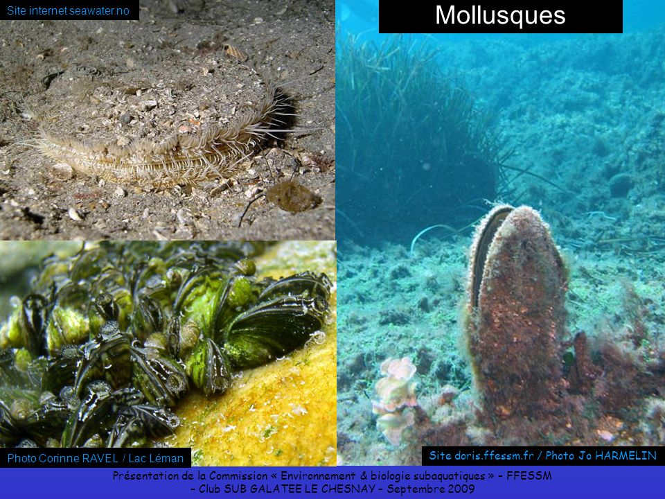 Mollusques Site internet seawater.no Photo Corinne RAVEL / Lac Léman