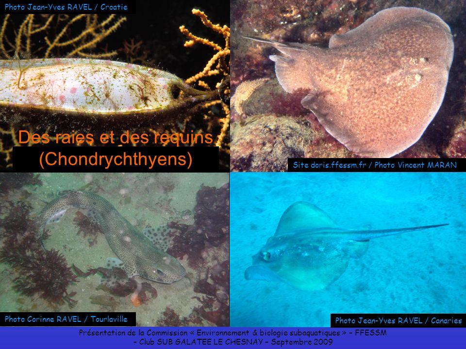 Des raies et des requins (Chondrychthyens)