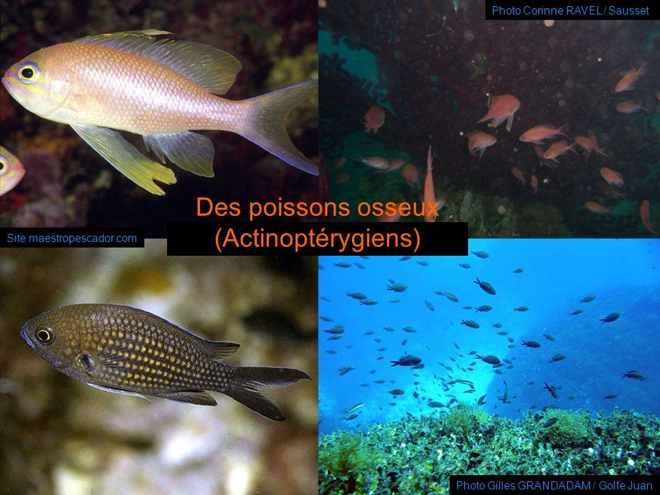 Des poissons osseux (Actinoptérygiens)