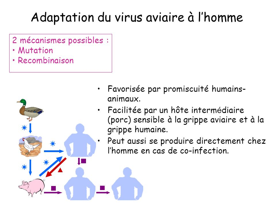 Adaptation du virus aviaire à l'homme