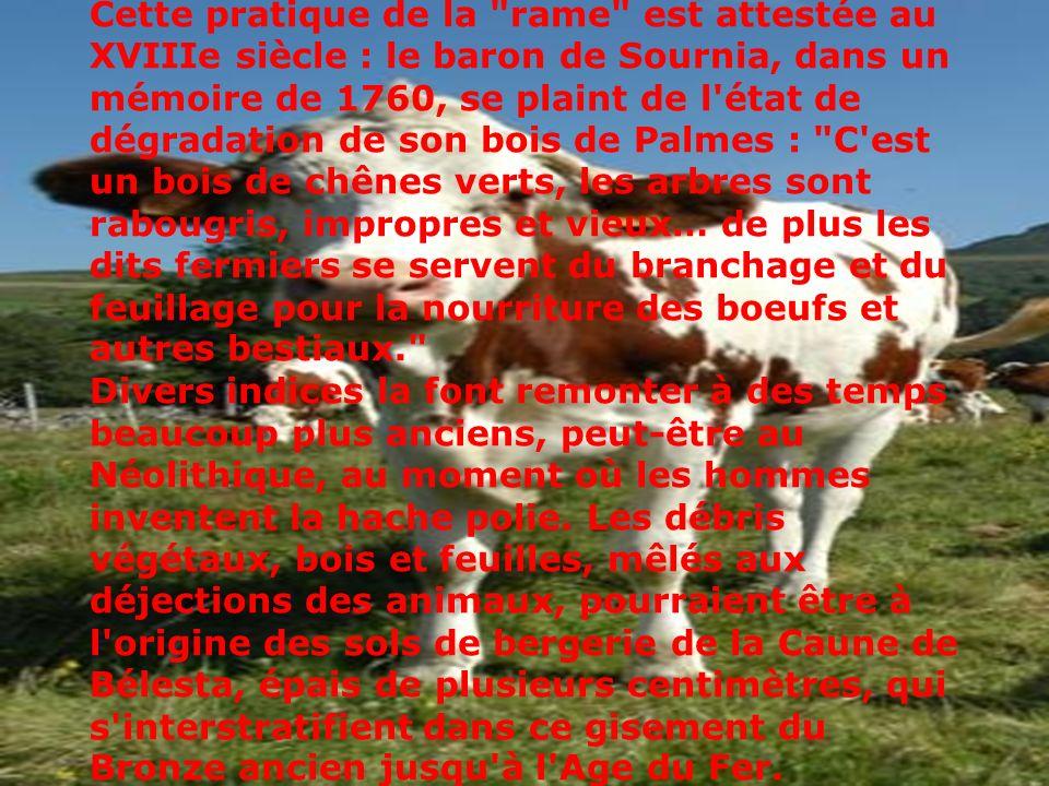 Cette pratique de la rame est attestée au XVIIIe siècle : le baron de Sournia, dans un mémoire de 1760, se plaint de l état de dégradation de son bois de Palmes : C est un bois de chênes verts, les arbres sont rabougris, impropres et vieux… de plus les dits fermiers se servent du branchage et du feuillage pour la nourriture des boeufs et autres bestiaux.