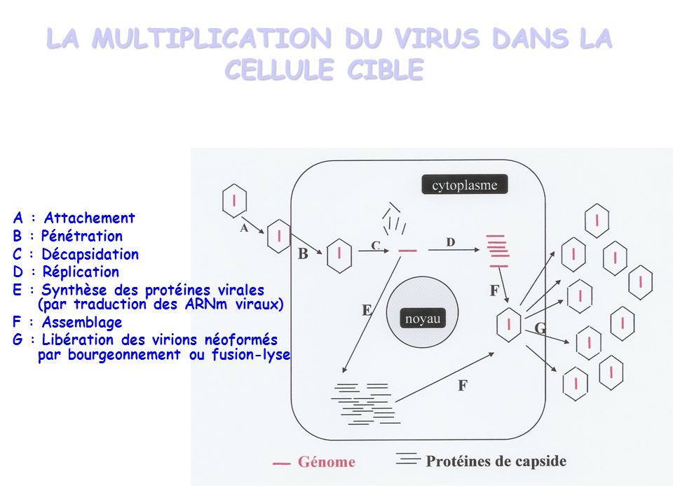 LA MULTIPLICATION DU VIRUS DANS LA CELLULE CIBLE