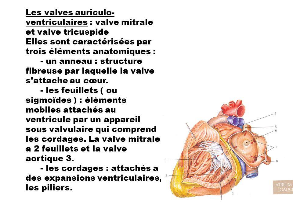 Les valves auriculo-ventriculaires : valve mitrale et valve tricuspide