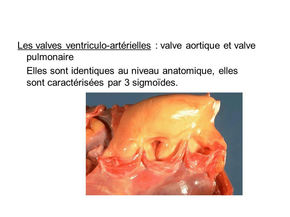 Les valves ventriculo-artérielles : valve aortique et valve pulmonaire