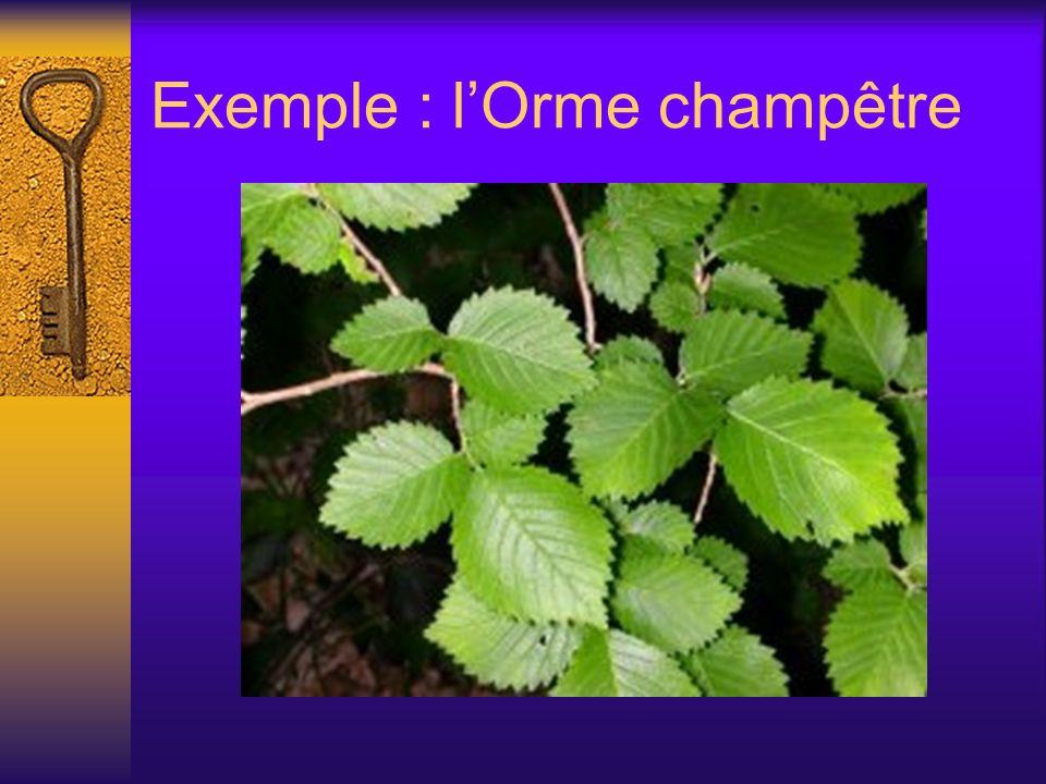 Exemple : l'Orme champêtre