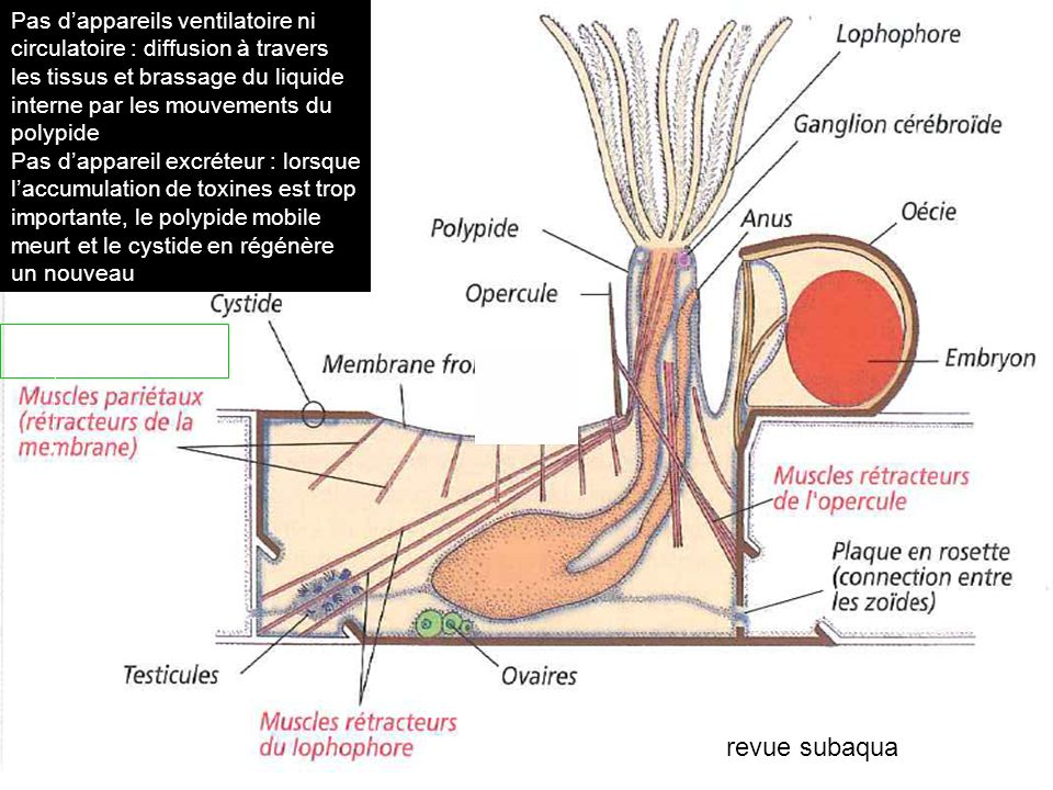 Pas d'appareils ventilatoire ni circulatoire : diffusion à travers les tissus et brassage du liquide interne par les mouvements du polypide