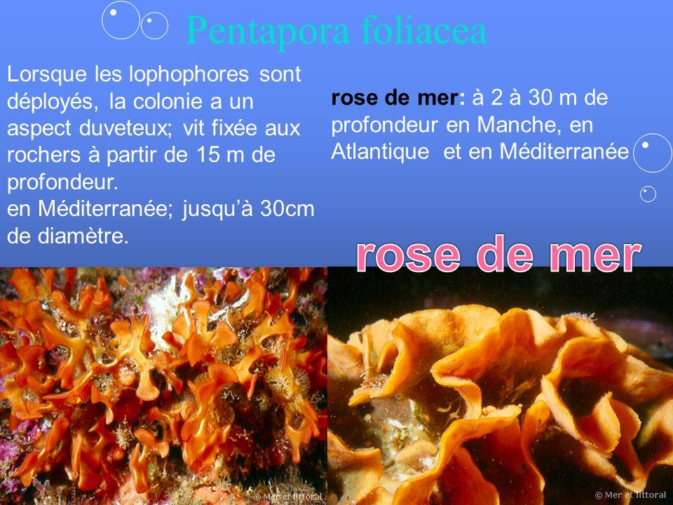 rose de mer Pentapora foliacea