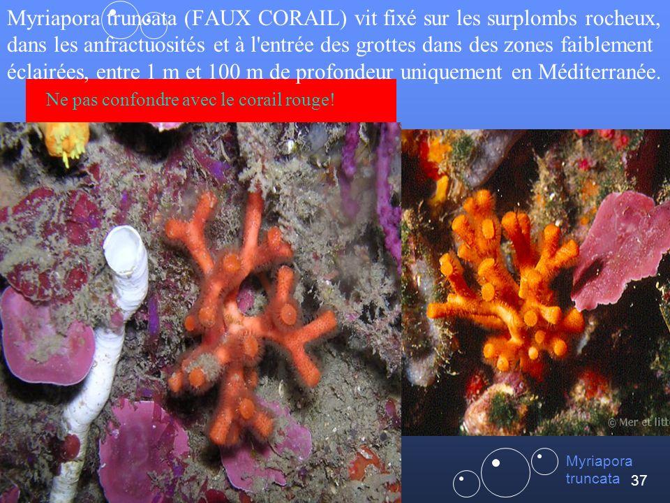 Myriapora truncata (FAUX CORAIL) vit fixé sur les surplombs rocheux, dans les anfractuosités et à l entrée des grottes dans des zones faiblement éclairées, entre 1 m et 100 m de profondeur uniquement en Méditerranée. Ne pas confondre avec le corail rouge!