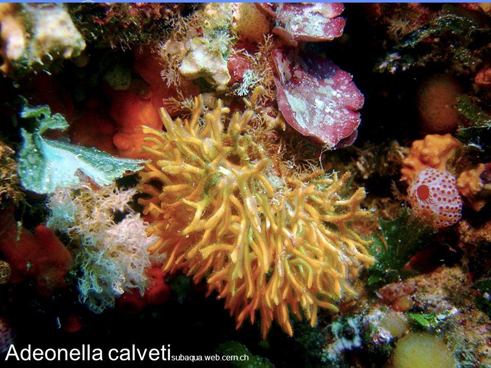 Adeonella calvetisubaqua.web.cern.ch