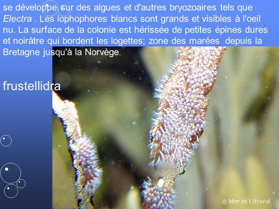 se développe sur des algues et d autres bryozoaires tels que Electra