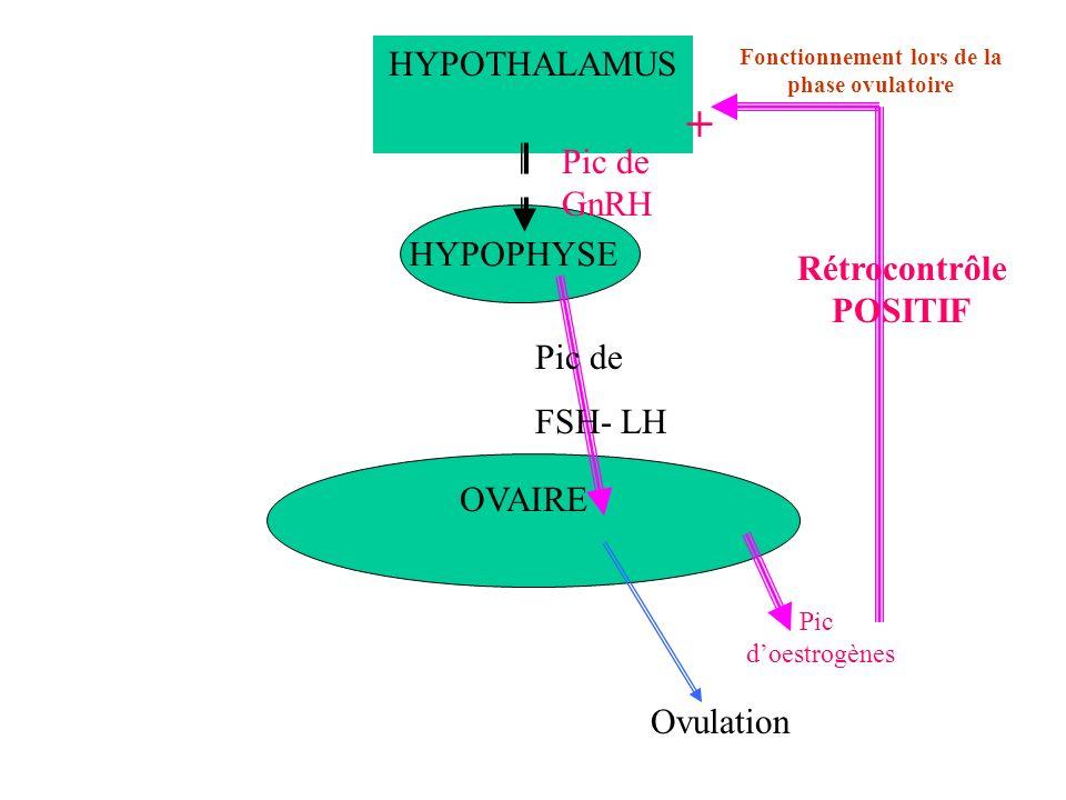 Fonctionnement lors de la phase ovulatoire Rétrocontrôle POSITIF