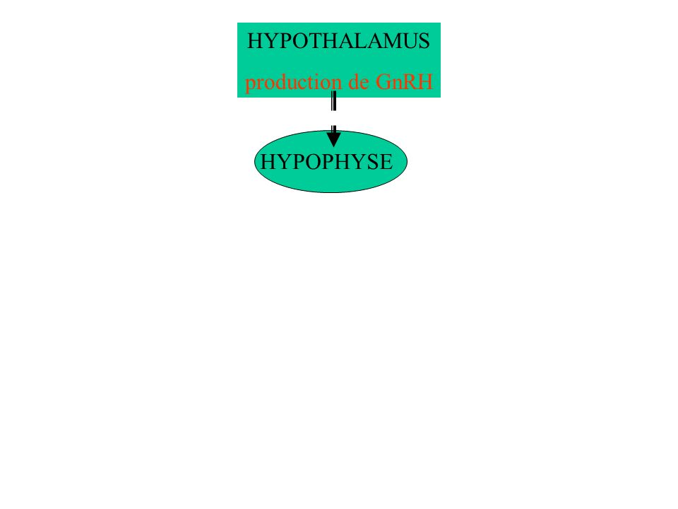 HYPOTHALAMUS production de GnRH HYPOPHYSE