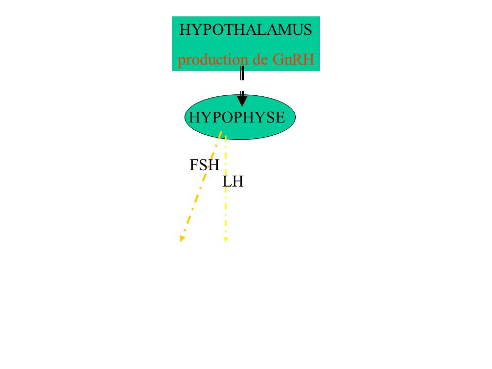 HYPOTHALAMUS production de GnRH HYPOPHYSE FSH LH