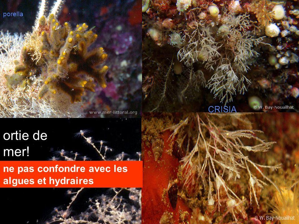 ortie de mer! ne pas confondre avec les algues et hydraires CRISIA