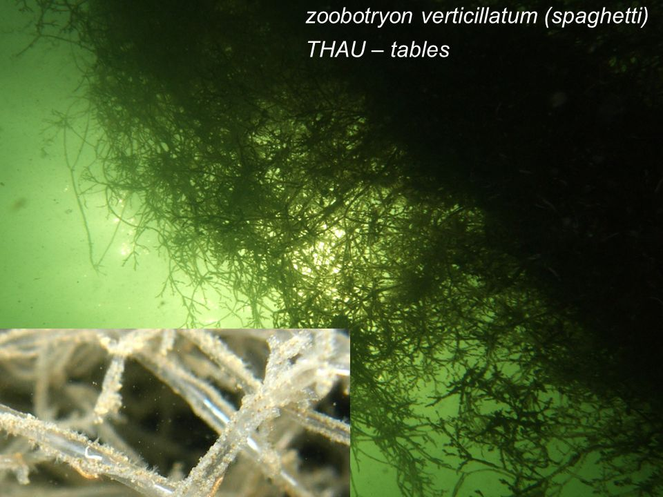 zoobotryon verticillatum (spaghetti)