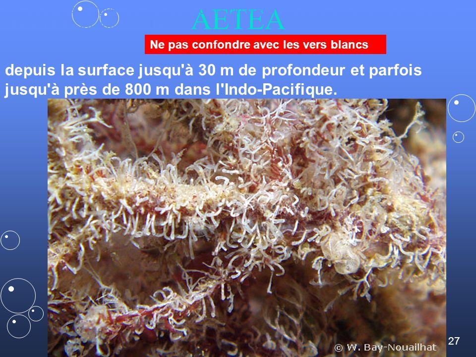 sur les algues rouges, les crampons de laminaires mais aussi sur d autres bryozoaires, des hydraires ou des coquilles