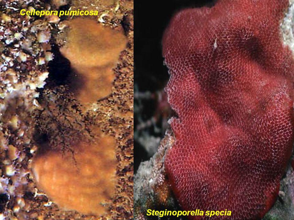 Cellepora pumicosa Steginoporella specia