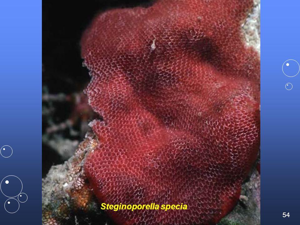 Steginoporella specia