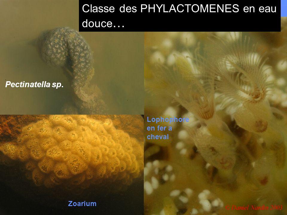 Classe des PHYLACTOMENES en eau douce…