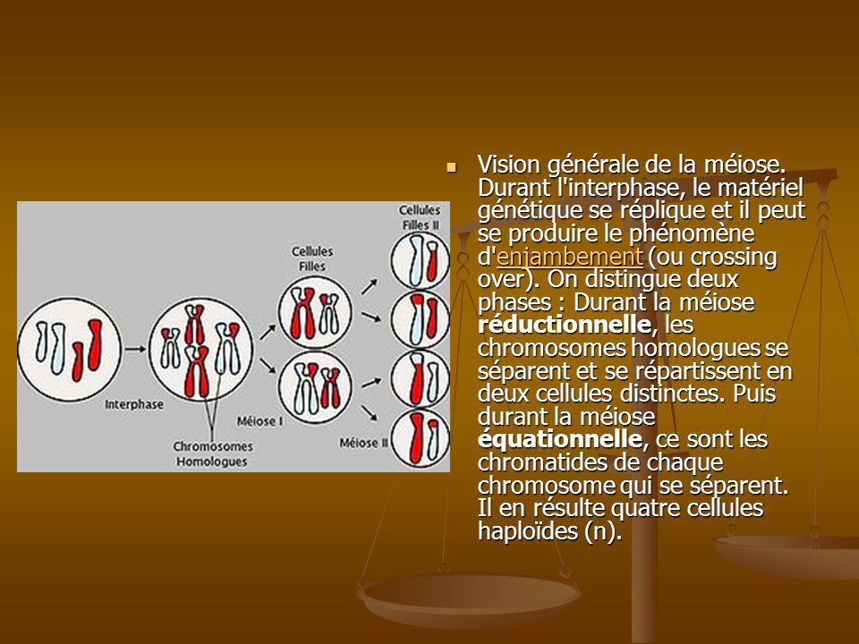 Vision générale de la méiose