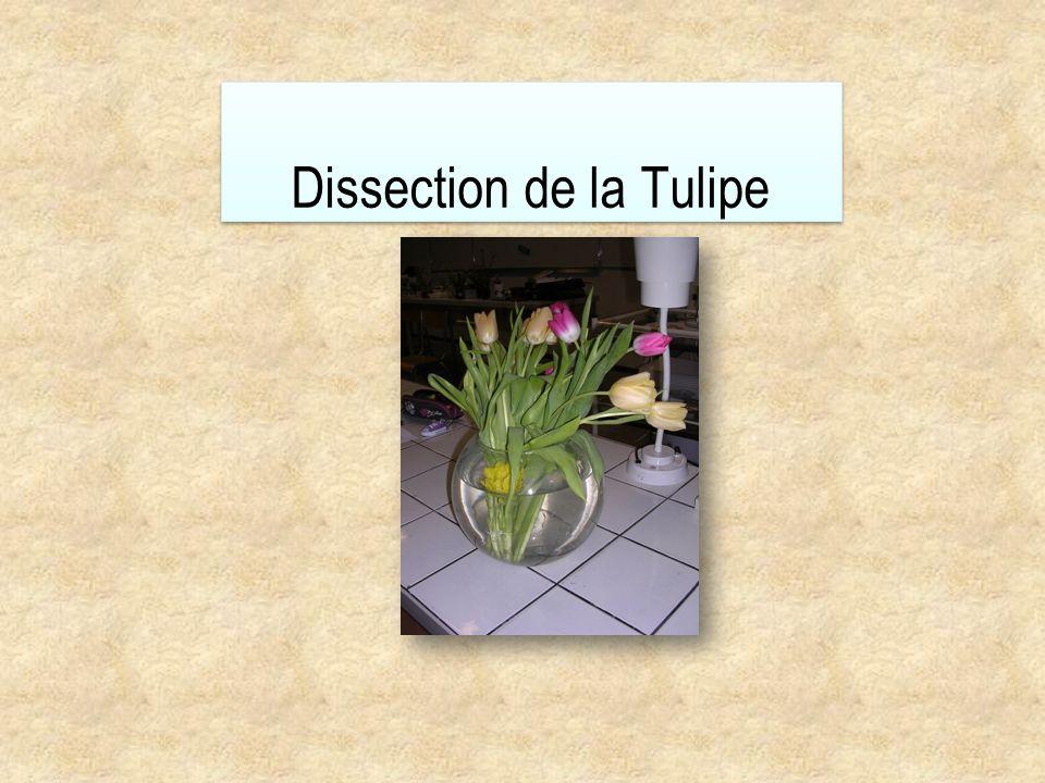 Dissection de la Tulipe