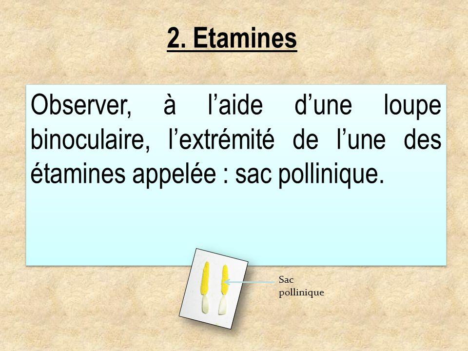 2. EtaminesObserver, à l'aide d'une loupe binoculaire, l'extrémité de l'une des étamines appelée : sac pollinique.