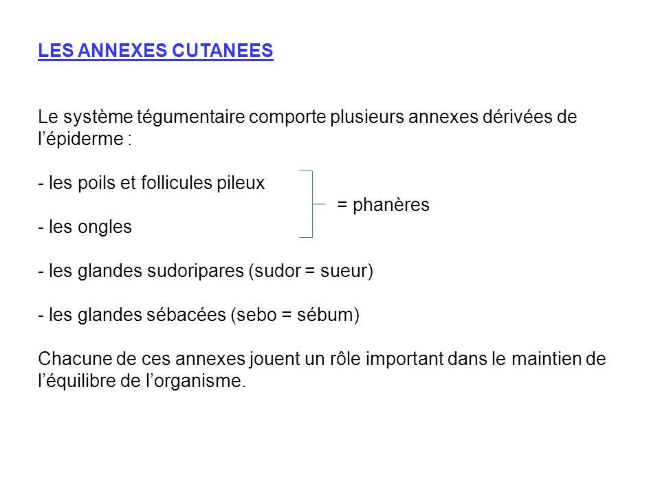 LES ANNEXES CUTANEES Le système tégumentaire comporte plusieurs annexes dérivées de l'épiderme :