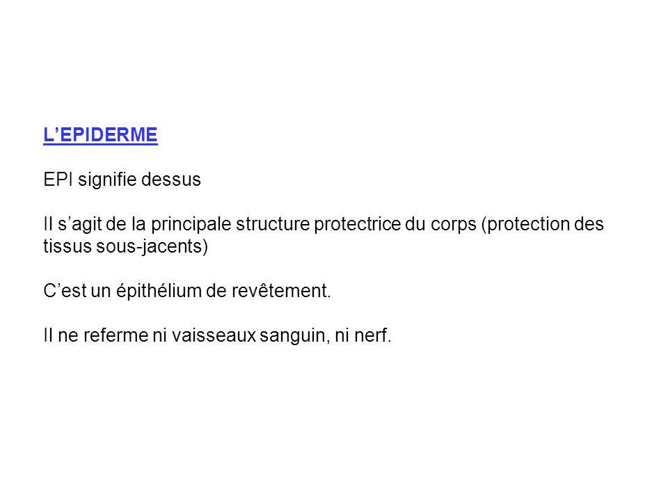 L'EPIDERME EPI signifie dessus. Il s'agit de la principale structure protectrice du corps (protection des tissus sous-jacents)
