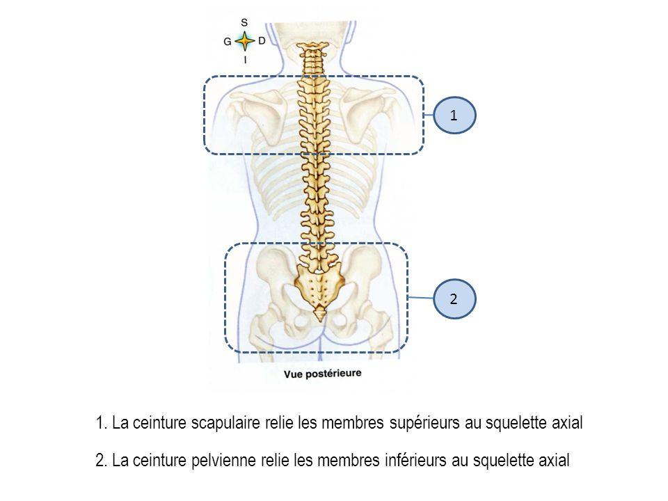 1 2. 1. La ceinture scapulaire relie les membres supérieurs au squelette axial.