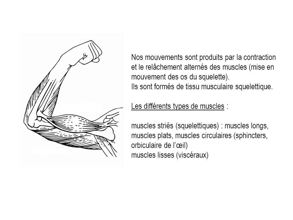 Nos mouvements sont produits par la contraction et le relâchement alternés des muscles (mise en mouvement des os du squelette).