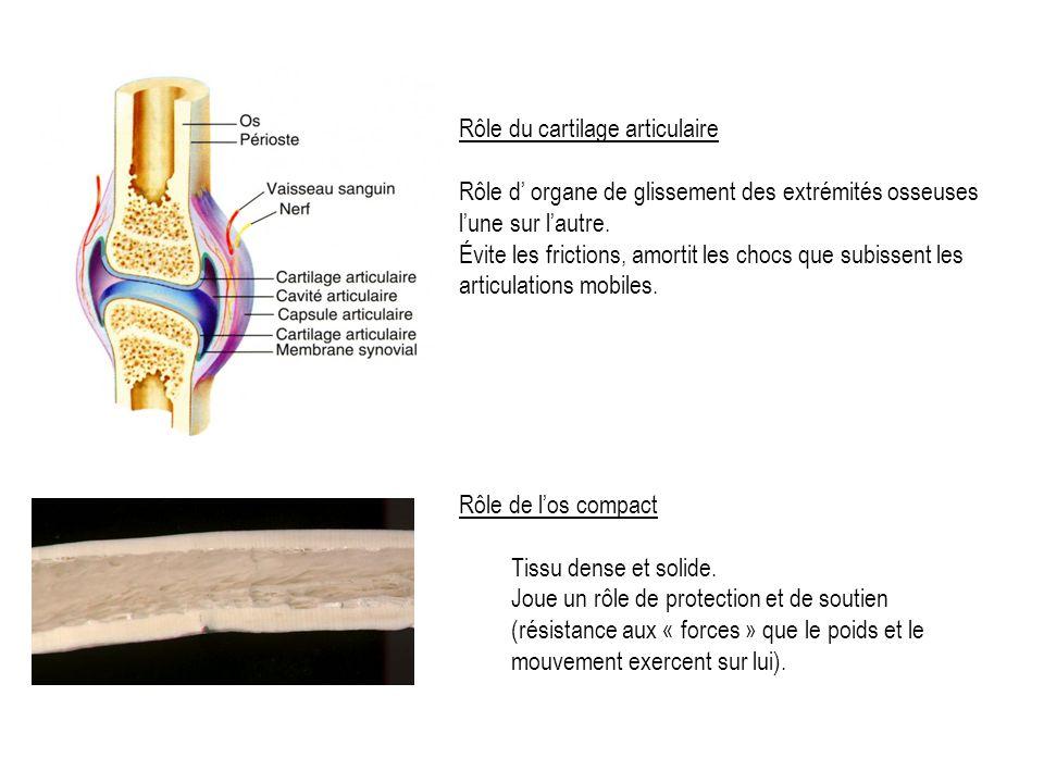 Rôle du cartilage articulaire