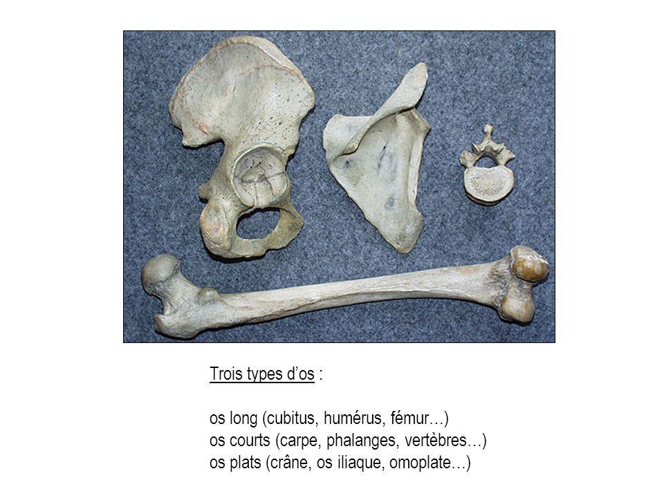 Trois types d'os : os long (cubitus, humérus, fémur…) os courts (carpe, phalanges, vertèbres…) os plats (crâne, os iliaque, omoplate…)