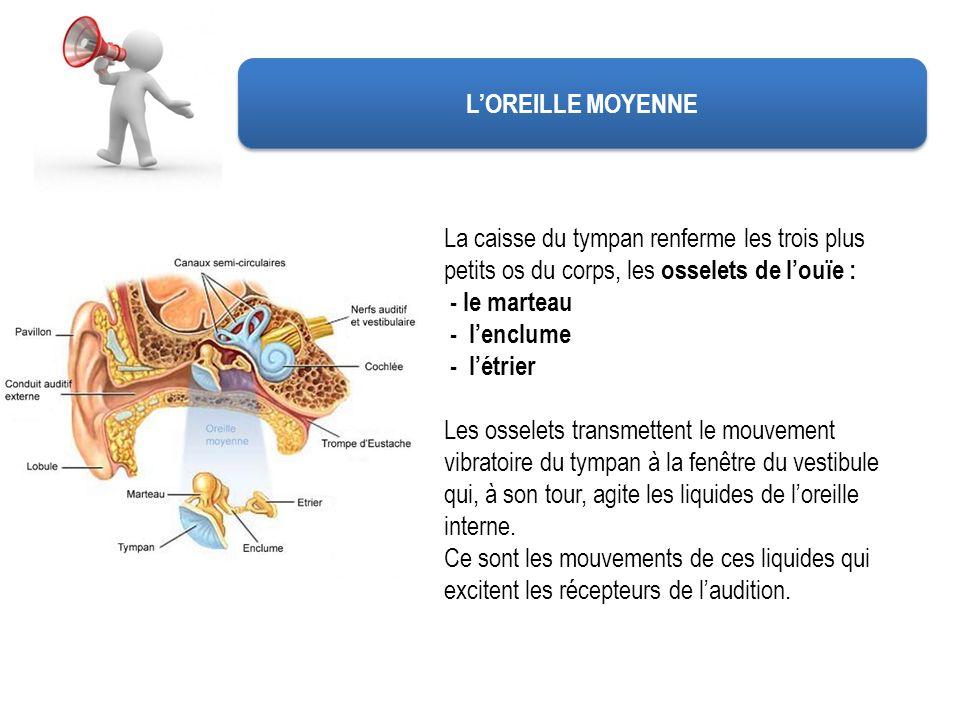 L'OREILLE MOYENNE La caisse du tympan renferme les trois plus petits os du corps, les osselets de l'ouïe :