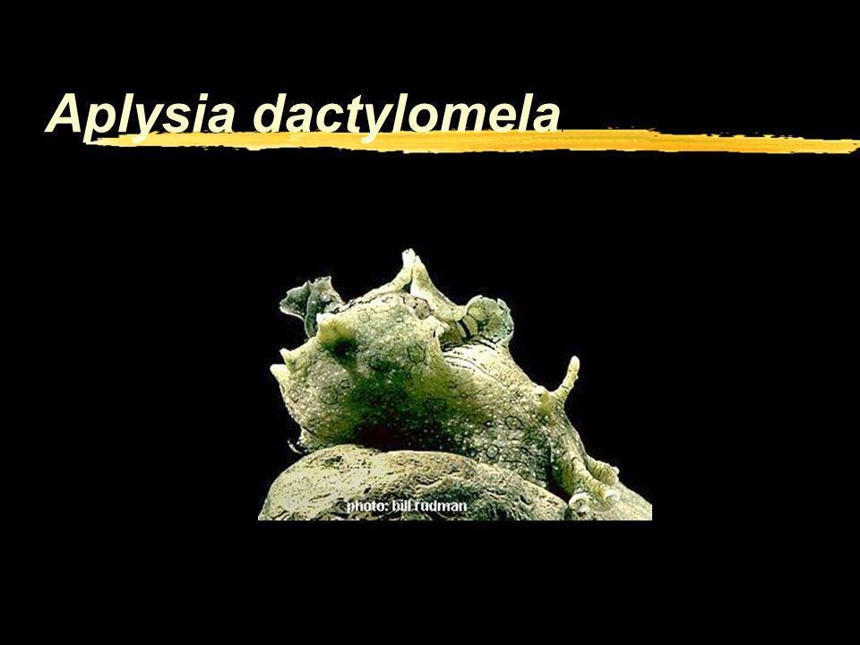 Aplysia dactylomela.