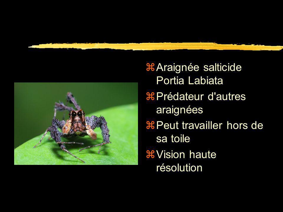 Araignée salticide Portia Labiata