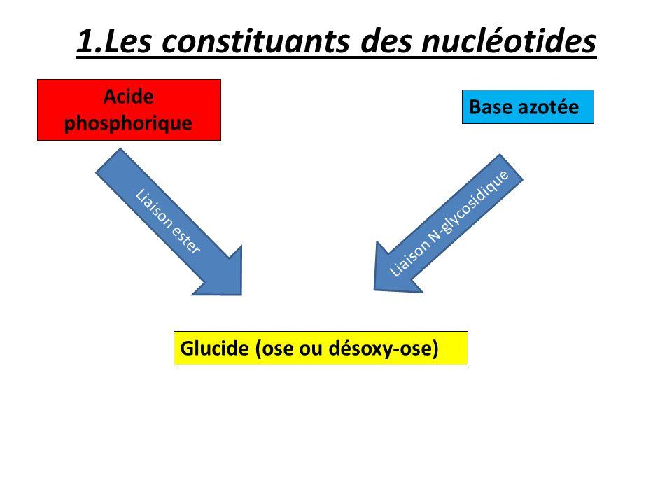 1.Les constituants des nucléotides