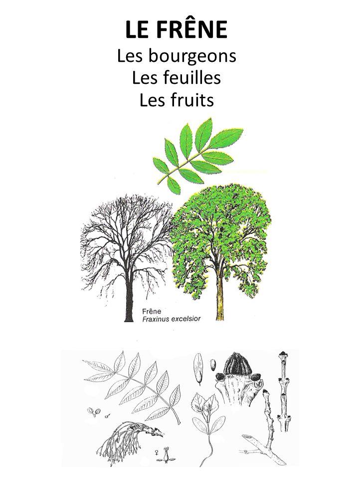 LE FRÊNE Les bourgeons Les feuilles Les fruits