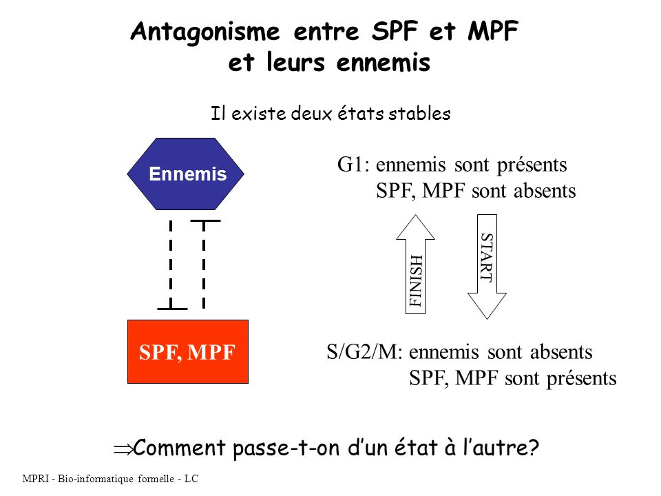 Antagonisme entre SPF et MPF